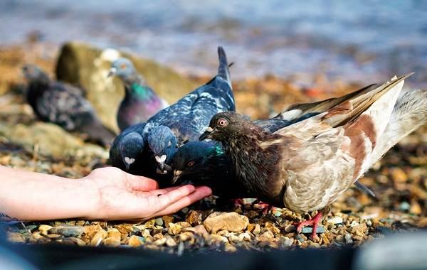 Голубь-птица-Описание-особенности-виды-образ-жизни-и-среда-обитания-голубя-21