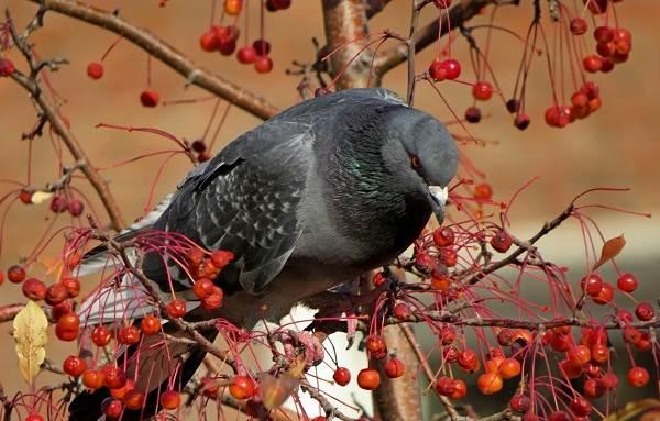 Голубь-птица-Описание-особенности-виды-образ-жизни-и-среда-обитания-голубя-23