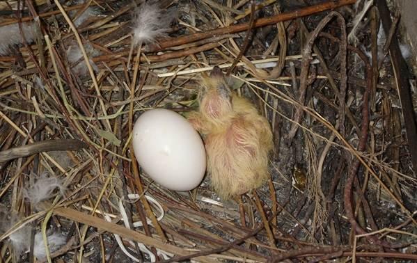 Голубь-птица-Описание-особенности-виды-образ-жизни-и-среда-обитания-голубя-25