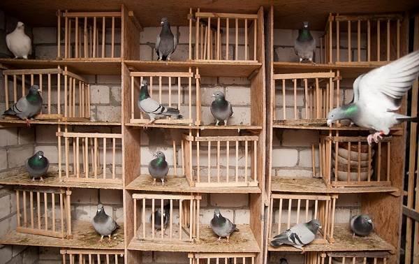 Голубь-птица-Описание-особенности-виды-образ-жизни-и-среда-обитания-голубя-26