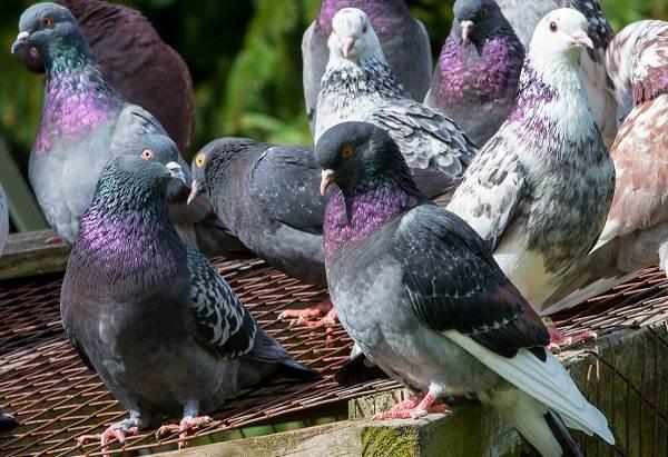 Голубь-птица-Описание-особенности-виды-образ-жизни-и-среда-обитания-голубя-27