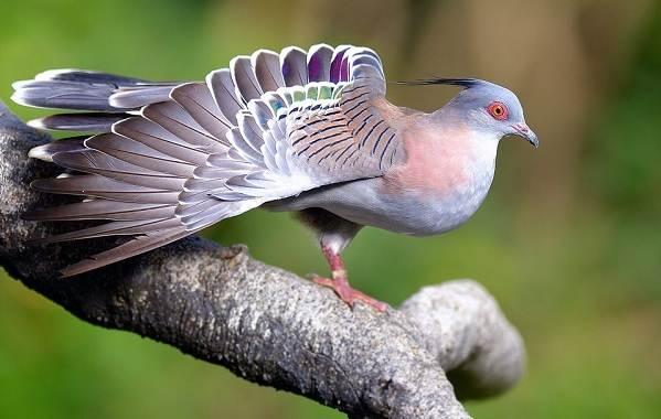 Голубь-птица-Описание-особенности-виды-образ-жизни-и-среда-обитания-голубя-28