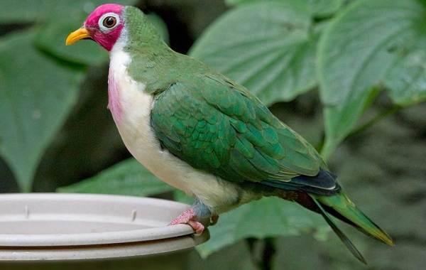 Голубь-птица-Описание-особенности-виды-образ-жизни-и-среда-обитания-голубя-29
