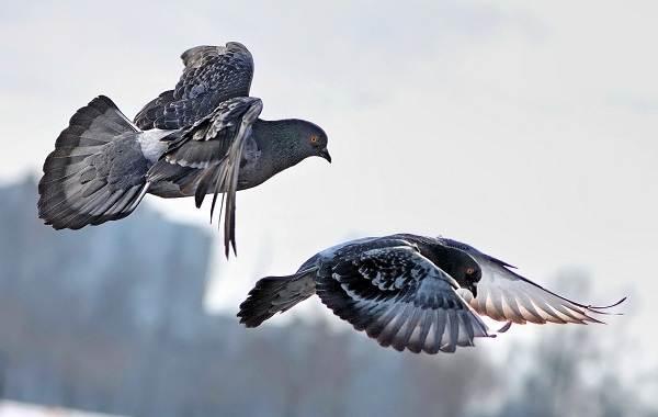 Голубь-птица-Описание-особенности-виды-образ-жизни-и-среда-обитания-голубя-4