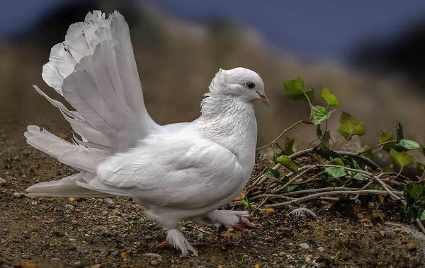 Голубь-птица-Описание-особенности-виды-образ-жизни-и-среда-обитания-голубя-5