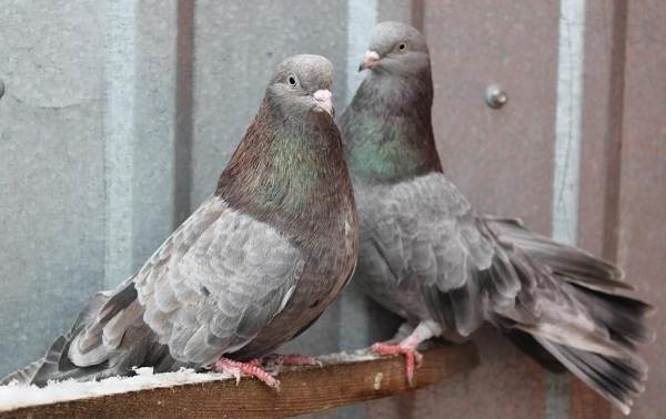Голубь-птица-Описание-особенности-виды-образ-жизни-и-среда-обитания-голубя-6