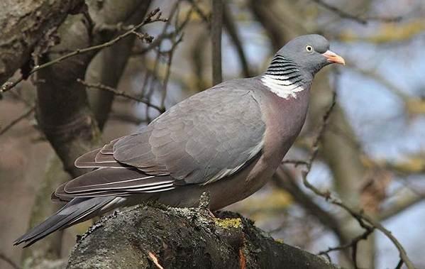 Голубь-птица-Описание-особенности-виды-образ-жизни-и-среда-обитания-голубя-7