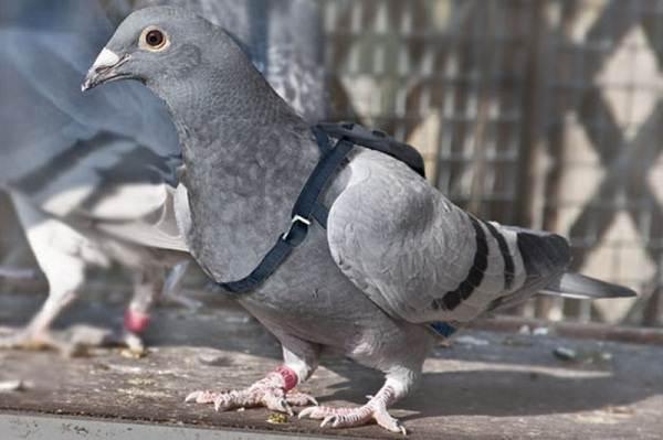 Голубь-птица-Описание-особенности-виды-образ-жизни-и-среда-обитания-голубя-8