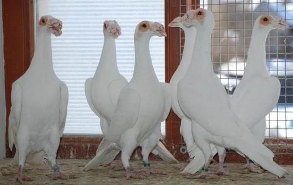 Голубь-птица-Описание-особенности-виды-образ-жизни-и-среда-обитания-голубя-9