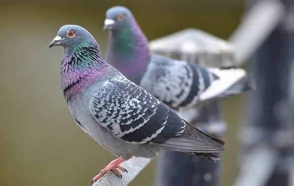 Голубь-птица-Описание-особенности-виды-образ-жизни-и-среда-обитания-голубя