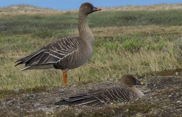 Гусь-гуменник-птица-Описание-особенности-образ-жизни-и-среда-обитания-гуменника-1