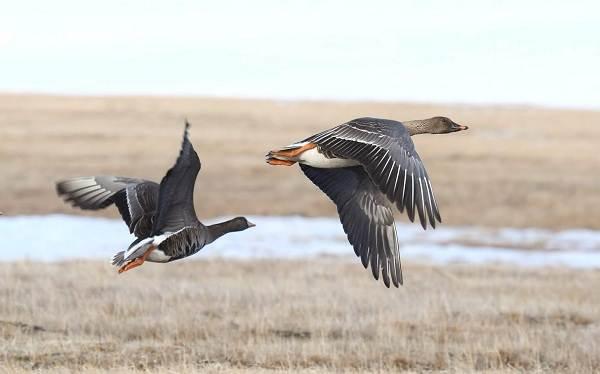 Гусь-гуменник-птица-Описание-особенности-образ-жизни-и-среда-обитания-гуменника-10