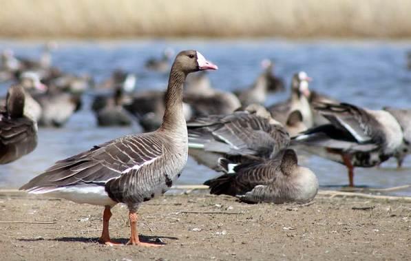 Гусь-гуменник-птица-Описание-особенности-образ-жизни-и-среда-обитания-гуменника-11