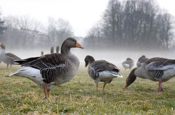 Гусь-гуменник-птица-Описание-особенности-образ-жизни-и-среда-обитания-гуменника-12