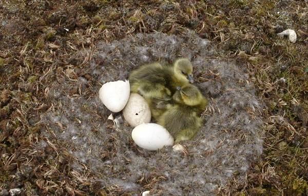 Гусь-гуменник-птица-Описание-особенности-образ-жизни-и-среда-обитания-гуменника-13