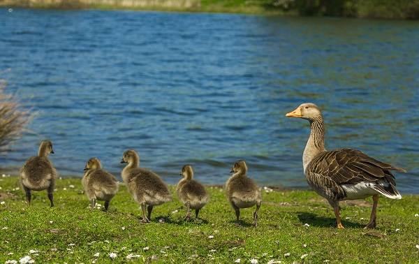 Гусь-гуменник-птица-Описание-особенности-образ-жизни-и-среда-обитания-гуменника-15