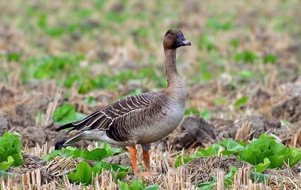 Гусь-гуменник-птица-Описание-особенности-образ-жизни-и-среда-обитания-гуменника-2
