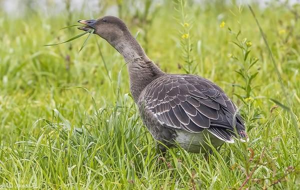 Гусь-гуменник-птица-Описание-особенности-образ-жизни-и-среда-обитания-гуменника-3