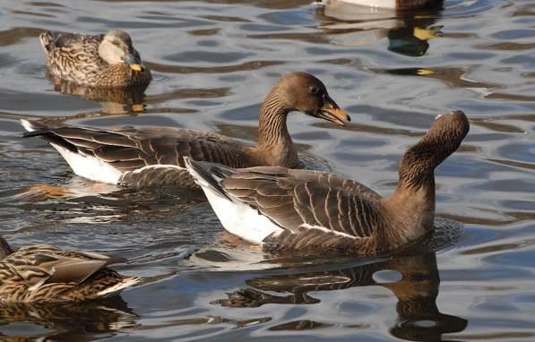 Гусь-гуменник-птица-Описание-особенности-образ-жизни-и-среда-обитания-гуменника-4