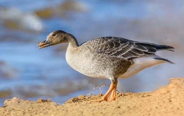 Гусь-гуменник-птица-Описание-особенности-образ-жизни-и-среда-обитания-гуменника-5