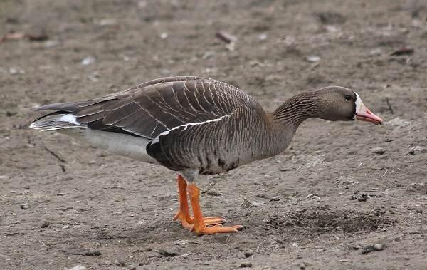 Гусь-гуменник-птица-Описание-особенности-образ-жизни-и-среда-обитания-гуменника-6