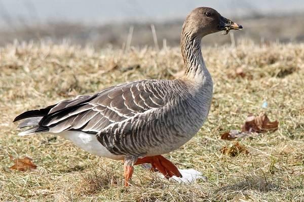 Гусь-гуменник-птица-Описание-особенности-образ-жизни-и-среда-обитания-гуменника-7