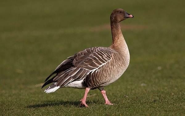 Гусь-гуменник-птица-Описание-особенности-образ-жизни-и-среда-обитания-гуменника-8
