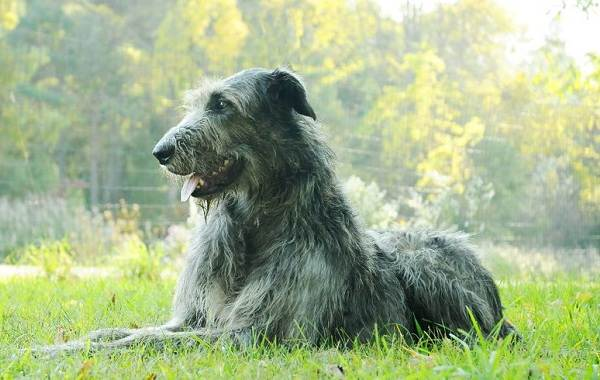 Ирландский-волкодав-собака-Описание-особенности-виды-уход-и-цена-породы-1