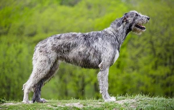Ирландский-волкодав-собака-Описание-особенности-виды-уход-и-цена-породы-10