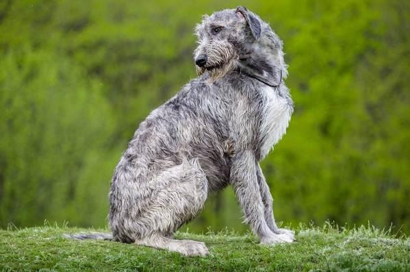 Ирландский-волкодав-собака-Описание-особенности-виды-уход-и-цена-породы-11