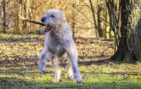 Ирландский-волкодав-собака-Описание-особенности-виды-уход-и-цена-породы-13