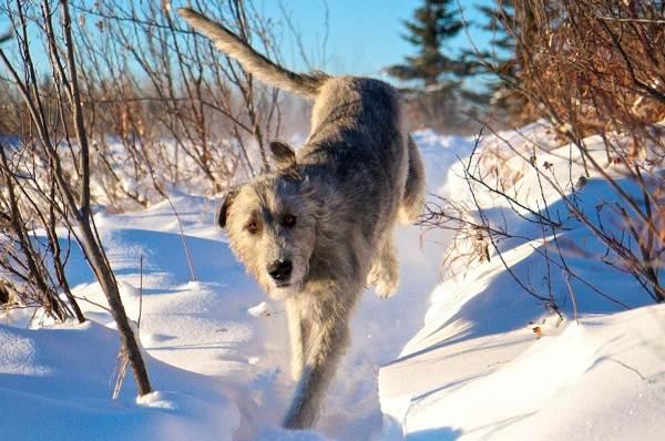 Ирландский-волкодав-собака-Описание-особенности-виды-уход-и-цена-породы-15