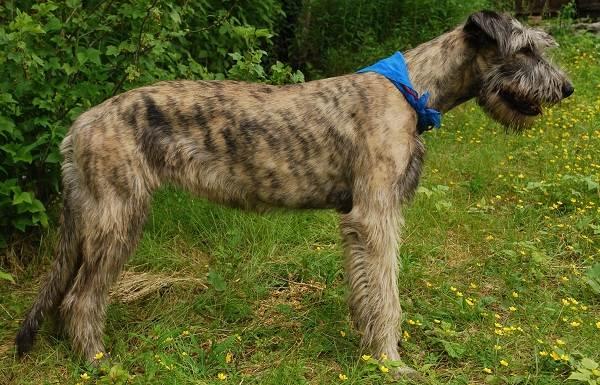 Ирландский-волкодав-собака-Описание-особенности-виды-уход-и-цена-породы-16