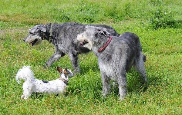 Ирландский-волкодав-собака-Описание-особенности-виды-уход-и-цена-породы-17