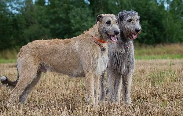 Ирландский-волкодав-собака-Описание-особенности-виды-уход-и-цена-породы-2