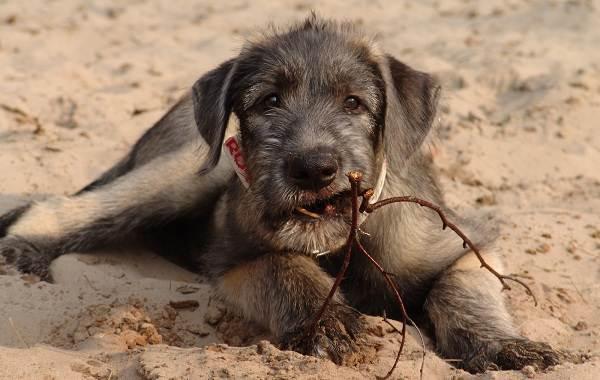 Ирландский-волкодав-собака-Описание-особенности-виды-уход-и-цена-породы-5