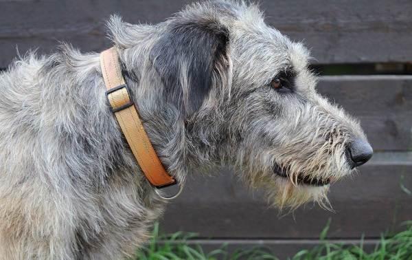 Ирландский-волкодав-собака-Описание-особенности-виды-уход-и-цена-породы-6