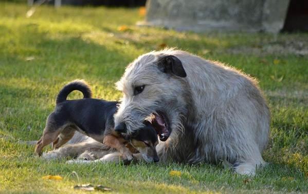 Ирландский-волкодав-собака-Описание-особенности-виды-уход-и-цена-породы-7