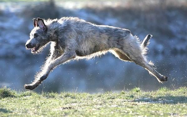 Ирландский-волкодав-собака-Описание-особенности-виды-уход-и-цена-породы-8