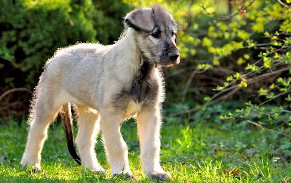 Ирландский-волкодав-собака-Описание-особенности-виды-уход-и-цена-породы-9