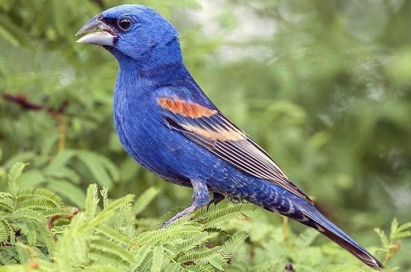 Кардинал-птица-Описание-особенности-виды-образ-жизни-и-среда-обитания-кардинала-10