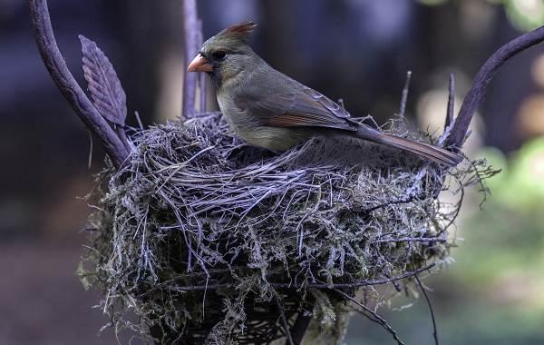 Кардинал-птица-Описание-особенности-виды-образ-жизни-и-среда-обитания-кардинала-11
