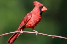 Кардинал птица. Описание, особенности, виды, образ жизни и среда обитания кардинала