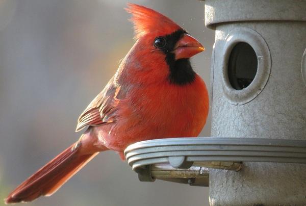 Кардинал-птица-Описание-особенности-виды-образ-жизни-и-среда-обитания-кардинала-13