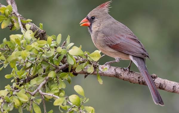 Кардинал-птица-Описание-особенности-виды-образ-жизни-и-среда-обитания-кардинала-3
