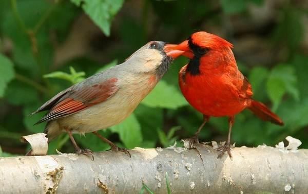 Кардинал-птица-Описание-особенности-виды-образ-жизни-и-среда-обитания-кардинала-6