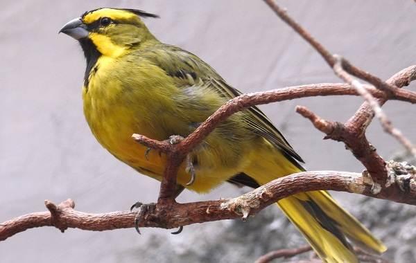 Кардинал-птица-Описание-особенности-виды-образ-жизни-и-среда-обитания-кардинала-7
