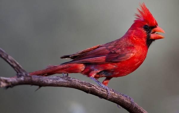 Кардинал-птица-Описание-особенности-виды-образ-жизни-и-среда-обитания-кардинала-9