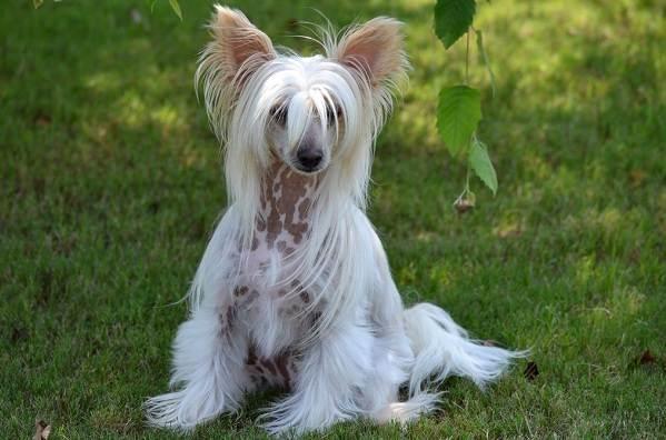 Китайская-хохлатая-собака-Описание-особенности-виды-уход-и-цена-породы-1
