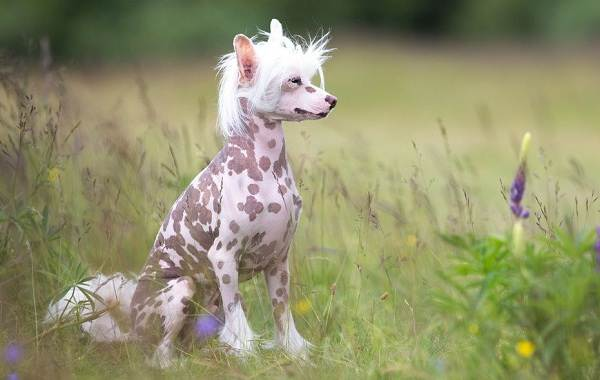 Китайская-хохлатая-собака-Описание-особенности-виды-уход-и-цена-породы-10